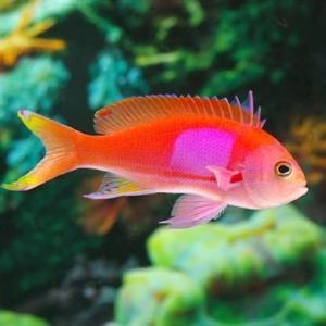 (海水魚・ハナダイ・ハタ・メギス) スミレナガハナダイ オス Mサイズ 1匹|mame-store