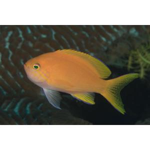 (海水魚・ハナダイ・ハタ・メギス) スミレナガハナダイ メス MSサイズ 1匹|mame-store
