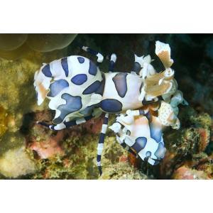 (海水魚・エビ) フリソデエビ (マニラ産) SMサイズ 1匹|mame-store