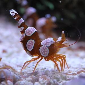 (海水魚・エビ) イソギンチャクモエビ SMサイズ 3匹|mame-store