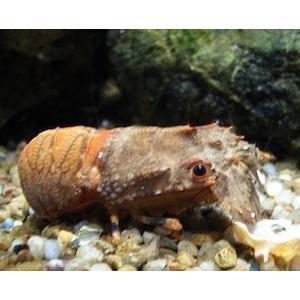 (海水魚・エビ) ヒメセミエビ (国内産) SMサイズ 1匹|mame-store