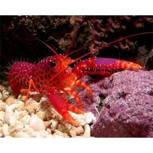 (海水魚・エビ) パープルリーフロブスター SMサイズ 1匹|mame-store
