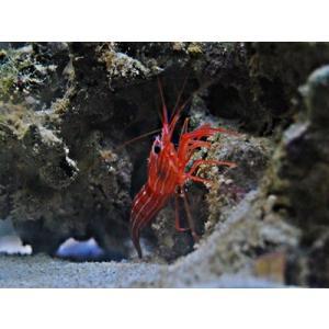(海水魚・エビ) ペパーミントシュリンプ SMサイズ (カーリー駆除)1匹|mame-store