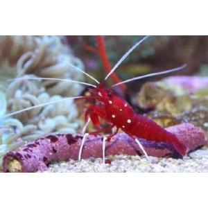(海水魚・エビ) ホワイトソックスシュリンプ SMサイズ(小さめ) 1匹|mame-store