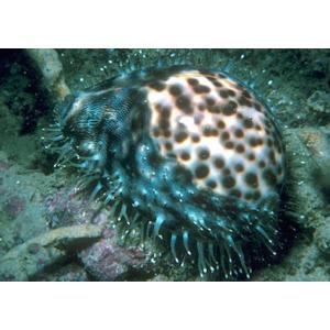(海水魚・貝) ホシダカラガイ コケ取り用 Mサイズ 1匹|mame-store