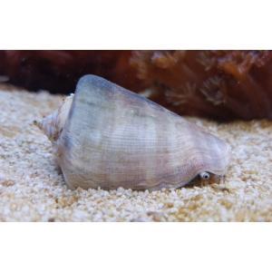 (海水魚・貝) マガキガイ 国内産 底砂掃除 MSサイズ 5匹 mame-store