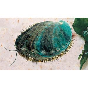 (海水魚・貝)アワビ グリーン 稚貝 苔取掃除 3cm± 3匹|mame-store