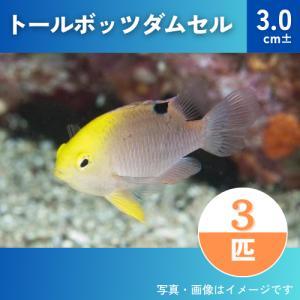 (海水魚・スズメダイ) トールボッツダムセル  SMサイズ 3匹|mame-store