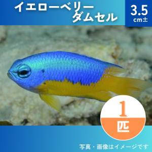 (海水魚・スズメダイ) イエローベリーダムセル  3.5cm± 1匹 mame-store