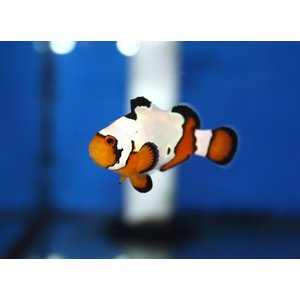 (海水魚・スズメダイ) スノーフレークオセラリス(国産ブリード) 3cm± 1匹|mame-store