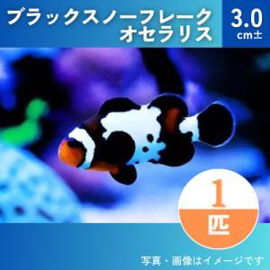(海水魚・スズメダイ) ブラックスノーフレークオセラリス(国産ブリード) 3cm± 1匹 mame-store