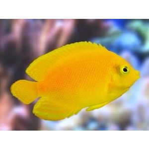 (海水魚・キンチャクダイ) ヘラルドヤッコ SMサイズ 1匹|mame-store