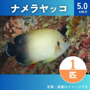 (海水魚・キンチャクダイ) ナメラヤッコ SMサイズ 1匹|mame-store