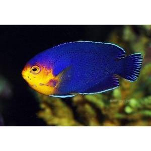 (海水魚・キンチャクダイ) チェルブピグミーエンゼル (カリブ産) 3cm± 1匹|mame-store