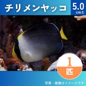 (海水魚・キンチャクダイ) チリメンヤッコ SMサイズ 1匹|mame-store