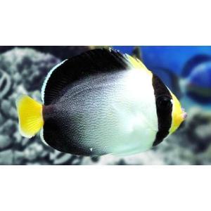 (海水魚・キンチャクダイ) チリメンヤッコ SMサイズ 2匹|mame-store