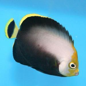 (海水魚・キンチャクダイ) キヘリキンチャクダイ SMサイズ 1匹|mame-store