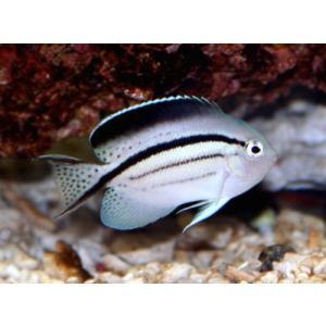 (海水魚・キンチャクダイ) タテジマヤッコ SMサイズ 1匹|mame-store