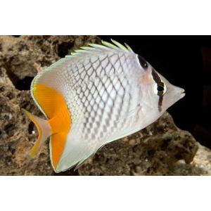 (海水魚・チョウチョウウオ) アミメチョウチョウウオ SMサイズ 2匹|mame-store