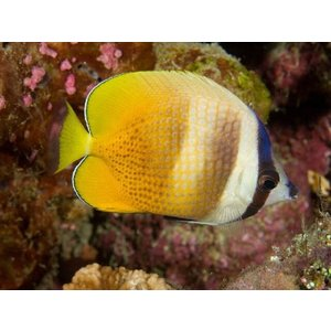(海水魚・チョウチョウウオ) ミゾレチョウチョウウオ SMサイズ 1匹|mame-store