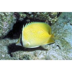(海水魚・チョウチョウウオ) ゴマチョウチョウウオ SMサイズ 1匹|mame-store