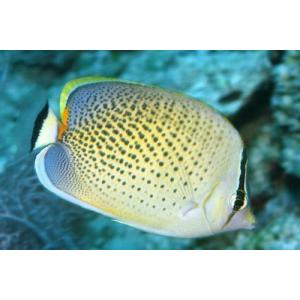 (海水魚・チョウチョウウオ) スポッテッドバタフライ(スリランカ産) SMサイズ 1匹|mame-store