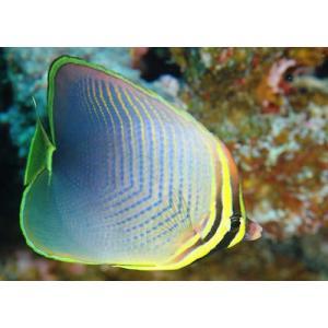 (海水魚・チョウチョウウオ) ミカドチョウチョウウオ SMサイズ 1匹|mame-store