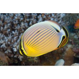 (海水魚・チョウチョウウオ) ミスジチョウチョウウオ SMサイズ 1匹|mame-store