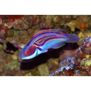 (海水魚・ベラ・ブダイ)ラボウテズフェアリーラス(ラボウテッドラス)  (ニューカレドニア産) MSサイズ 1匹|mame-store