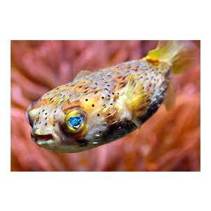 (海水魚・フグ) ハリセンボン カリブ産 10cm± 1匹|mame-store