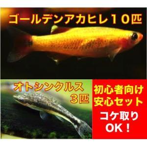 【初心者向け安心セット】ゴールデンアカヒレ10匹+オトシンクルス3匹 セット(No.A−12)|mame-store