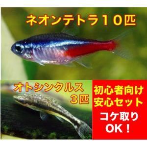 【初心者向け安心セット】ネオンテトラ10匹+オトシンクルス3匹 セット(No.A−13)|mame-store