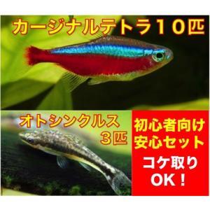 【初心者向け安心セット】カージナルテトラ10匹+オトシンクルス3匹 セット(No.A−14)|mame-store