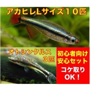 【初心者向け安心セット】アカヒレ(Lサイズ)10匹+オトシンクルス3匹 セット(No.A−15)|mame-store