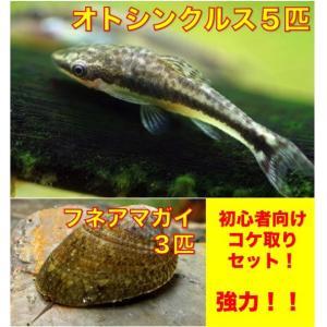 【初心者向け・こけ対策】オトシンクルス5匹・フネアマ貝3匹 セット(No.A−21)|mame-store