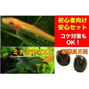 【初心者向け・コケ対策】ゴールデンアルジイーター3匹・石巻貝5個・ミナミヌマエビ5匹 セット|mame-store