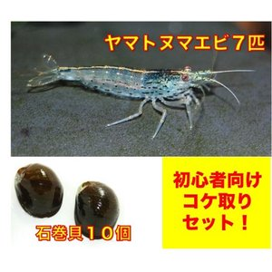 【初心者向け・コケ対策】ヤマトヌマエビ7匹・石巻貝10個 セット(No.A−28)|mame-store