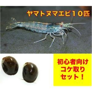 【初心者向け・コケ対策】ヤマトヌマエビ10匹・石巻貝10個 セット(No.A−29)|mame-store