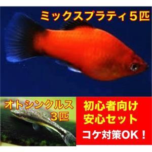 【初心者向け安心セット】ミックスプラティ5匹・オトシンクルス3匹 セット(No.A−31)|mame-store