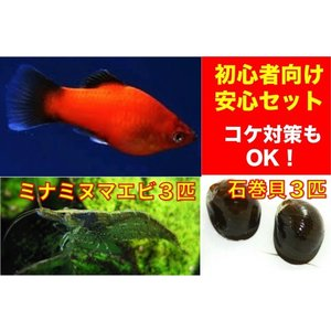 【初心者向け安心セット】ミックスプラティー5匹・ミナミヌマエビ3匹・石巻貝3個 セット(No.A−35)|mame-store