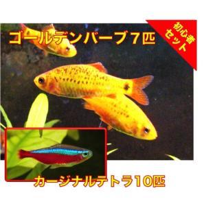 【初心者向け安心セット】ゴールデンバーブ7匹・カージナルテトラ10匹 セット(No.A−46) mame-store