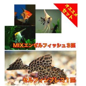 【初心者向け安心セット】MIXエンゼルフィッシュSMサイズ3匹・セルフィンプレコ1匹 セット mame-store