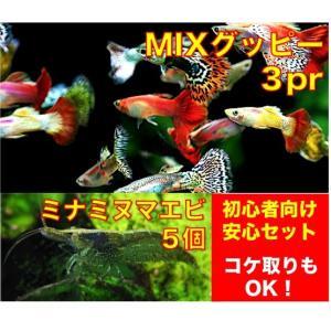 【初心者向け安心セット】グッピーMIX3ペア・ミナミヌマエビ5匹 セット(No.A−7)|mame-store