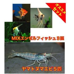 【初心者向け安心セット】MIXエンゼルフィッシュSMサイズ3匹・ヤマトヌマエビ5匹 セット|mame-store