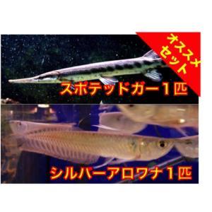 【初めての大型魚セット】スポテッドガー6cm1匹+シルバーアロワナ6cm1匹 セット