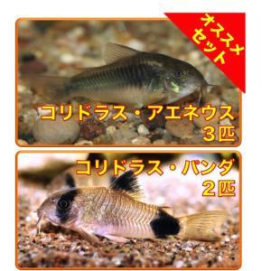 【初心者向け安心セット】Coアエネウス3匹・Coパンダ2匹 セット(No.A−77)|mame-store