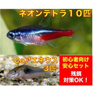 【初心者向け安心セット】ネオンテトラ10匹・Coアエネウス3匹 セット(No.A−8)|mame-store