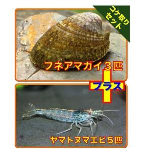 【初心者向け・コケ対策】フネアマ貝3匹・ヤマトヌマエビ5匹 セット(No.A−80)|mame-store