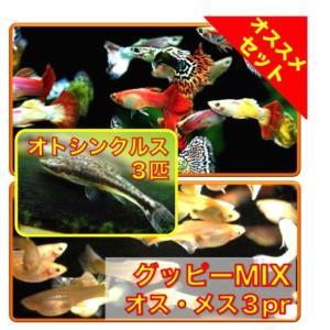 【初心者向け安心セット】ミックスグッピー3pr・オトシンクルス3匹 セット(No.A−84)|mame-store