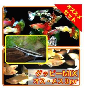 【初心者向け安心セット】ミックスグッピー3pr・サイアミーズフライングフォックス5匹 セット(No.A−85)|mame-store